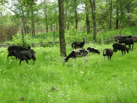 羊の引っ越し04