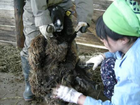 羊の毛刈り01