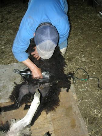 羊の毛刈り02