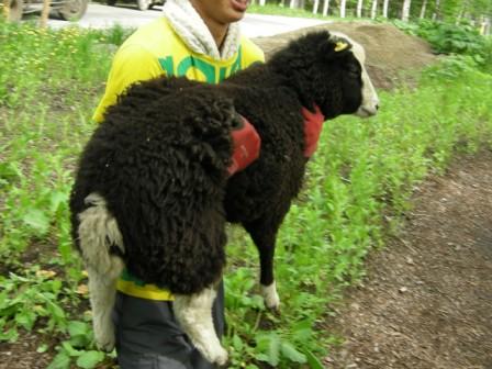 羊の引っ越し01