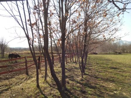 柏の木の並木道