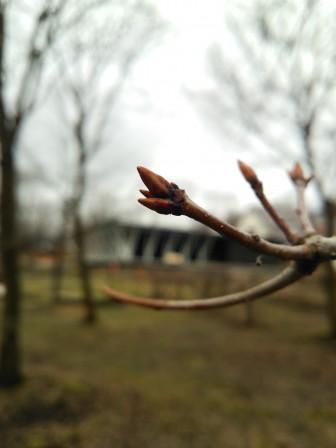 山桜つぼみ